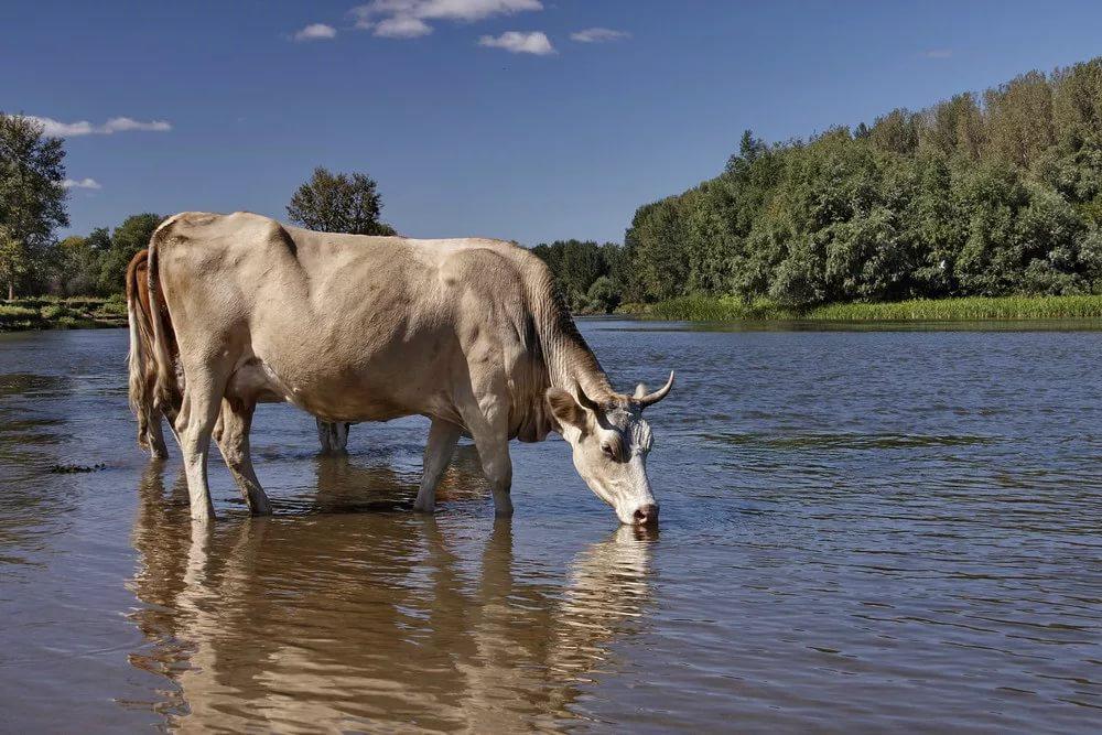корова на водопое