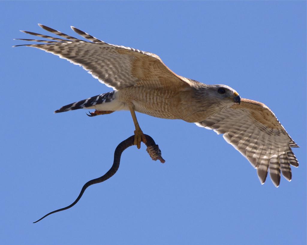 орел и мертвая змея
